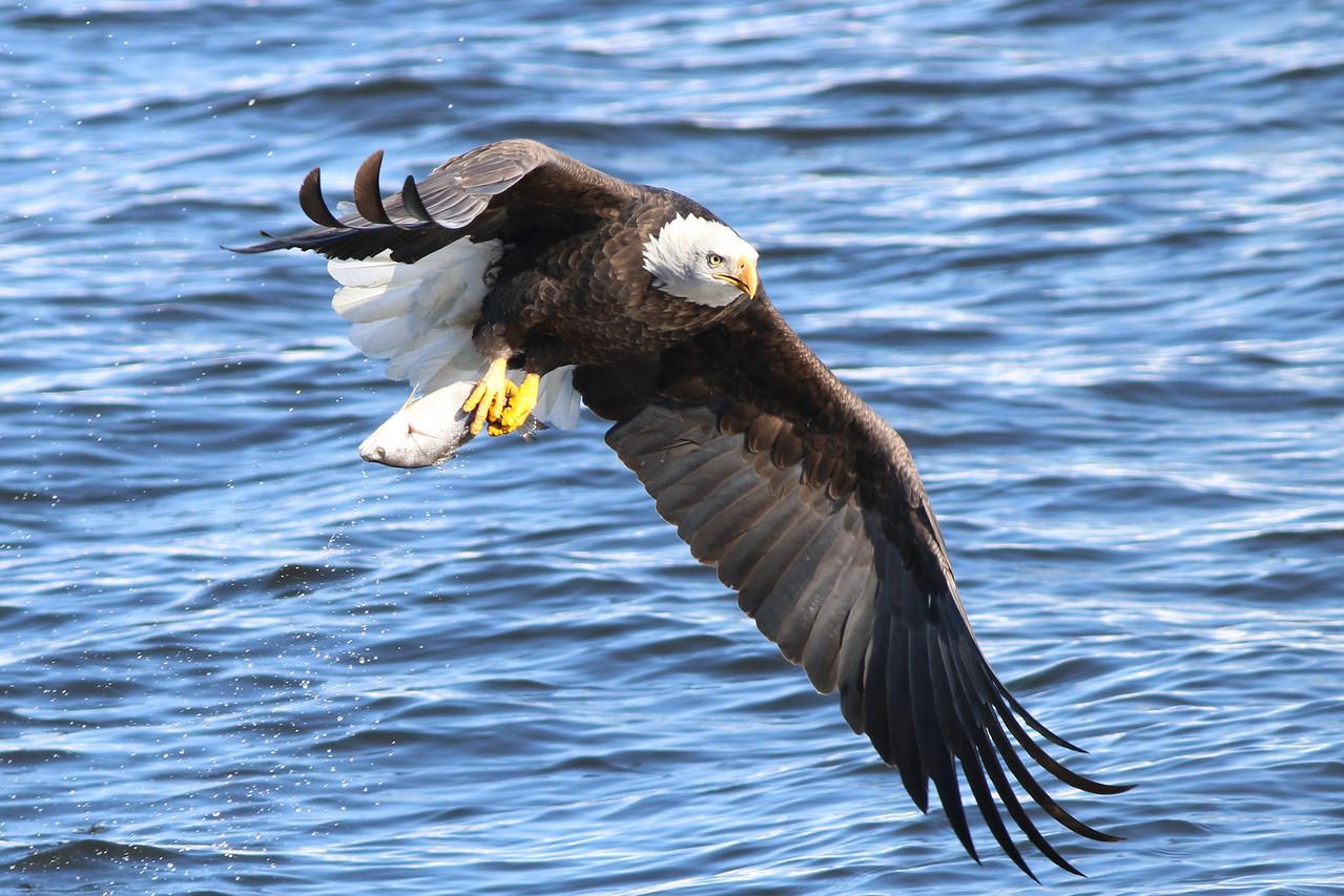 IMAGE: http://stoph.smugmug.com/Other/Bald-Eagles/i-hkqsHj3/0/X2/IMG_2344-X2.jpg