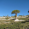 This I believe is a Limber Pine, the oldest living thing in the Angeles Forest, some are two thousand years old.