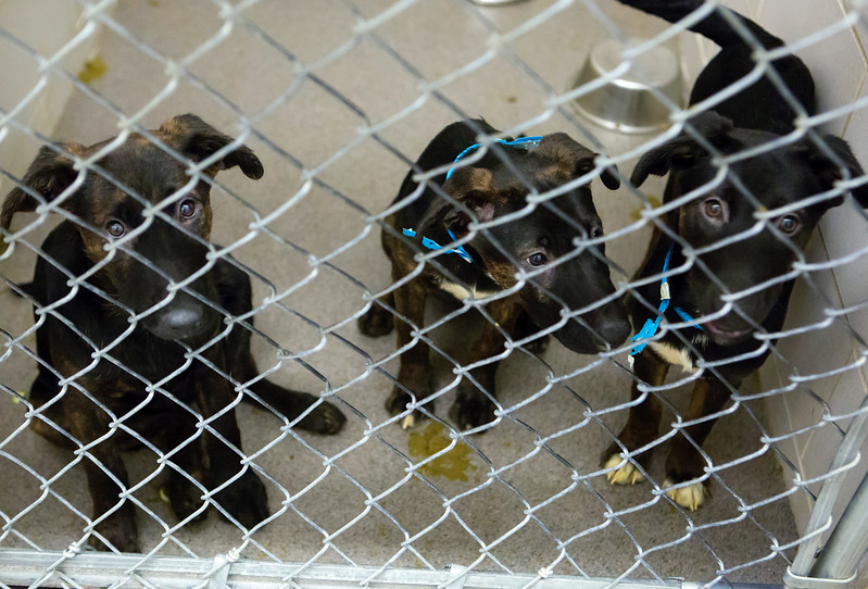 BANGOR, Maine -- 06/30/2017 -  Available puppies brought up from Mississippi shelters that are now up for adoption at the Bangor Humane Society are seen Friday. The southern dogs will be available for adoption Wednesday. Ashley L. Conti | BDN