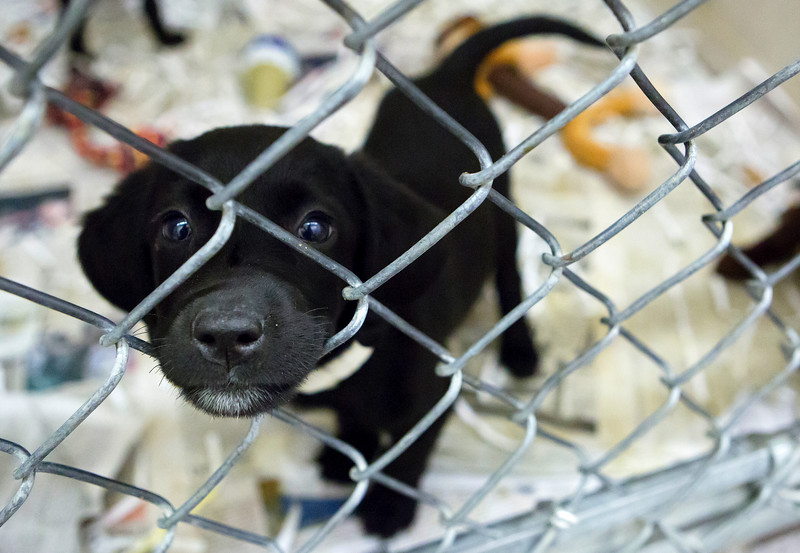 BANGOR, Maine -- 06/30/2017 -  is an available dog brought up from Mississippi shelters that is now up for adoption at the Bangor Humane Society Friday. The southern dogs will be available for adoption Wednesday. Ashley L. Conti | BDN