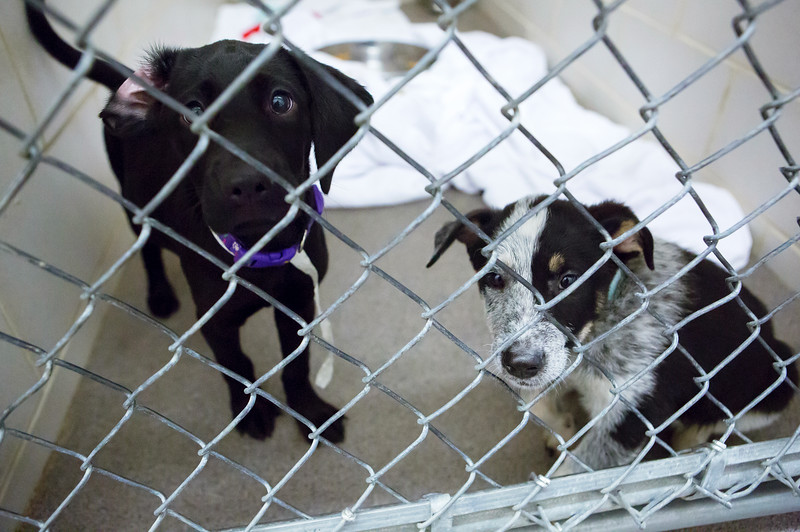 BANGOR, Maine -- 06/30/2017 -  Prissy (left) and Trevor are available dogs  brought up from Mississippi shelters that are now up for adoption at the Bangor Humane Society Friday. The southern dogs will be available for adoption Wednesday. Ashley L. Conti   BDN