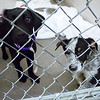 BANGOR, Maine -- 06/30/2017 -  Prissy (left) and Trevor are available dogs  brought up from Mississippi shelters that are now up for adoption at the Bangor Humane Society Friday. The southern dogs will be available for adoption Wednesday. Ashley L. Conti | BDN