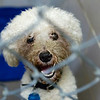 BANGOR, Maine -- 06/30/2017 -  Snow is an available dog brought up from Mississippi shelters that is now up for adoption at the Bangor Humane Society Friday. The southern dogs will be available for adoption Wednesday. Ashley L. Conti | BDN
