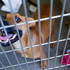 BANGOR, Maine -- 06/30/2017 -  Ace is an available dog brought up from Mississippi shelters that is now up for adoption at the Bangor Humane Society Friday. The southern dogs will be available for adoption Wednesday. Ashley L. Conti | BDN