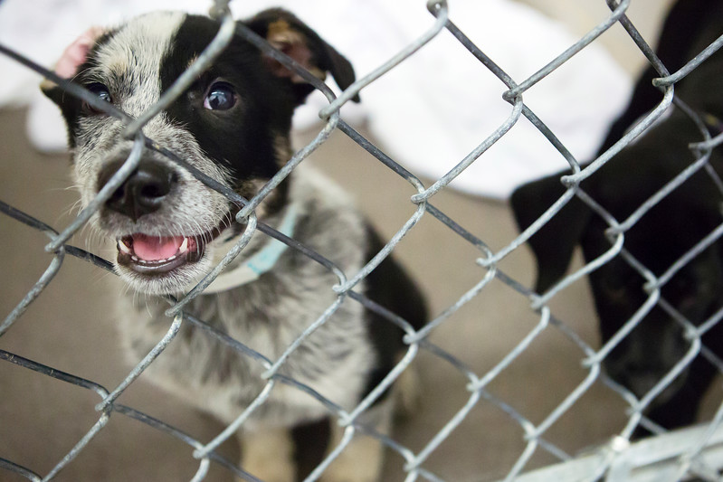 BANGOR, Maine -- 06/30/2017 -  Trevor is an available dog brought up from Mississippi shelters that is now up for adoption at the Bangor Humane Society Friday. The southern dogs will be available for adoption Wednesday. Ashley L. Conti   BDN