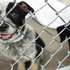 BANGOR, Maine -- 06/30/2017 -  Trevor is an available dog brought up from Mississippi shelters that is now up for adoption at the Bangor Humane Society Friday. The southern dogs will be available for adoption Wednesday. Ashley L. Conti | BDN
