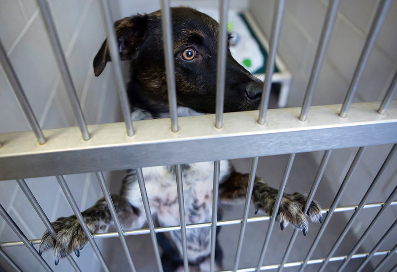 BANGOR, Maine -- 06/30/2017 -  Walden is an available dog brought up from Mississippi shelters that is now up for adoption at the Bangor Humane Society Friday. The southern dogs will be available for adoption Wednesday. Ashley L. Conti | BDN
