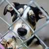 BANGOR, Maine -- 06/30/2017 -  Fantasia is an available dog brought up from Mississippi shelters that is now up for adoption at the Bangor Humane Society Friday. The southern dogs will be available for adoption Wednesday. Ashley L. Conti | BDN
