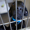 BANGOR, Maine -- 06/30/2017 -  Buster is an available dog brought up from Mississippi shelters that is now up for adoption at the Bangor Humane Society Friday. The southern dogs will be available for adoption Wednesday. Ashley L. Conti | BDN