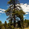 Mt Logan Tree 2