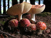 a family of Amanita muscaria