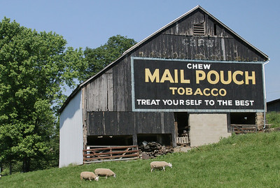 Mail Pouch Barn with Sheep Ohio, USA