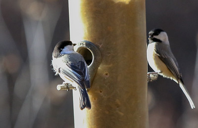 Albemarle County Black-capped Chickadees winter 2016-17