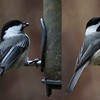 composite of Black-capped and Carolina Chickadees, Batesville, 20 January 2017