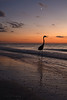Great Blue Heron at Indian Rocks Beach in the Evening