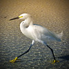 Snowy Egret on his way to work.