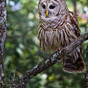 "From a recent  <a href=""http://www.saintaugustinecameraclub.com"">http://www.saintaugustinecameraclub.com</a> field trip. we were lucky enough to be visited by a pair of owls along the bank of the river."