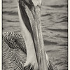 A pelican portrait to greet the new year.