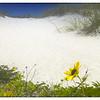 dune daisy