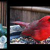 cardinal hams it up in front of my new time lapse camera.