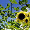 Sonn-en-blume as the germans would say. Sunflowers are just breaking out at the garden.