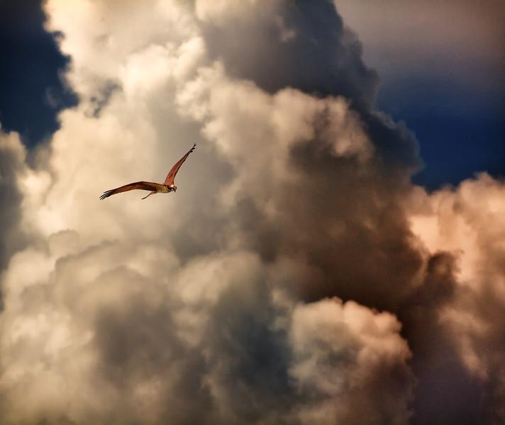 Osprey soaring.