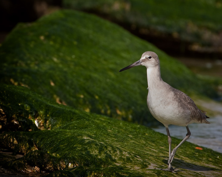 Willet walks and wanders the shore with winter wind.