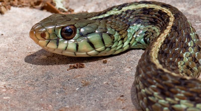 Garter snake in our garden.
