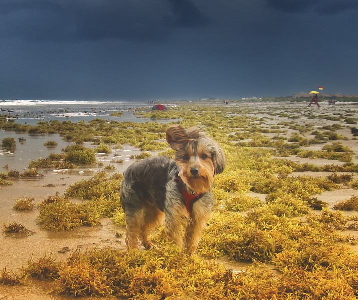 Like a wintertime beach, East winds brought  mats of sargassum. And with  the winds and threat of rain, crowds were at a minimum. Joey in the weeds. You can tell by his ear, it is still windy.