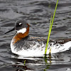 "Red-necked Phalarope: a bird rarely seen by humans since it breeds in the artic and migrates off shore to the tropical seas was was spotted as I drove down my street returning from the grocery store. A group of six, which I suppose had been blown in by the recent storm, took shelter in the ""field"" by my house which had briefly been turned into a marsh by the 10 inches of rain."