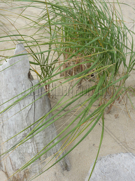 Dune Grass Over Driftwood