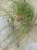 Dune Grass Over Driftwood