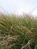 Dune Grass Wave