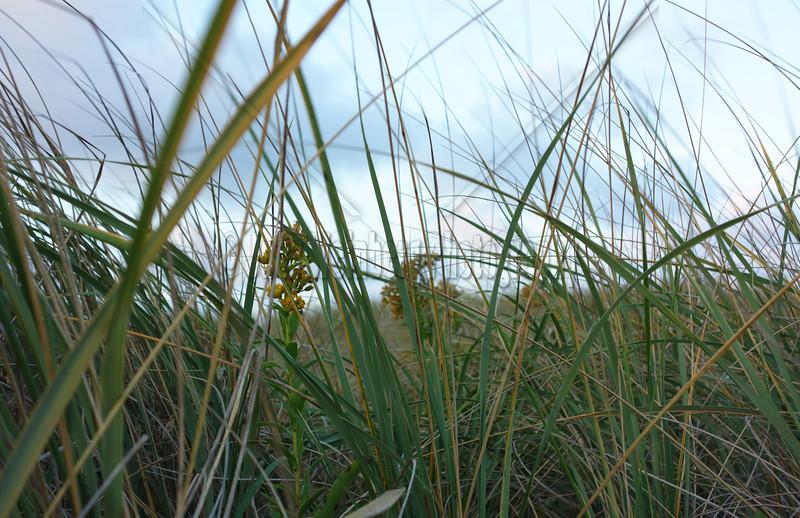 Blooms in the Dunes DSC00696