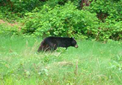 Bear in RC field