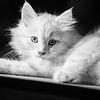 lizaard cat-1172