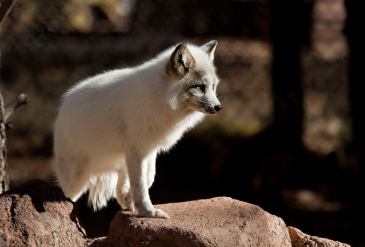 marbled Red Fox