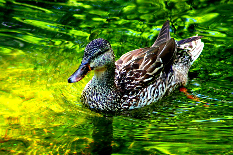 DC Duck  -- click image for larger view