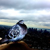 Empire State Pigeon  -- click image for larger view