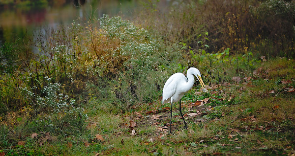 Egret, Nature-
