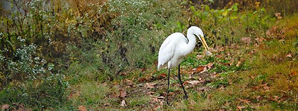 Egret, Nature--3