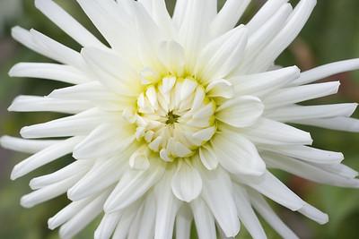 White Dahlai