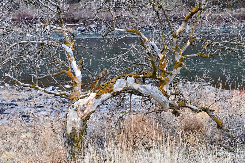 Gnarled tree on Grande Ronde, Jamuary 2010