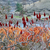 Bush Sumac fruit buds, Grande Ronde River, January, 2010