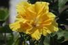 Hawaiirose - Hibiscus.