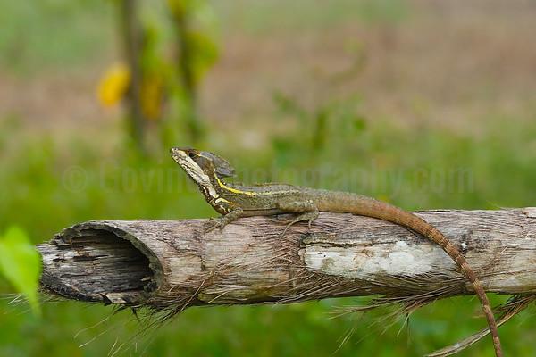 Baslisk lizard
