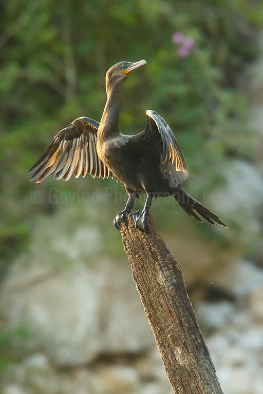 Neotropical cormorant drying its feathers