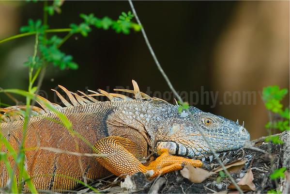 Male green iguana in breeding season