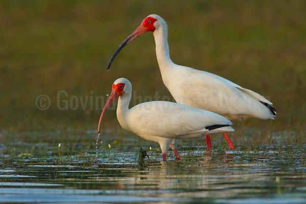 White ibises feeding