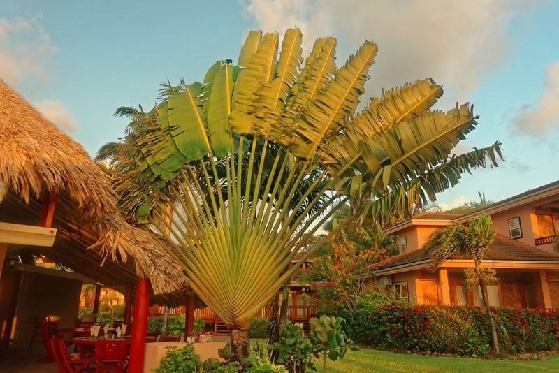 Traveler's Palm at Belizean Dreams